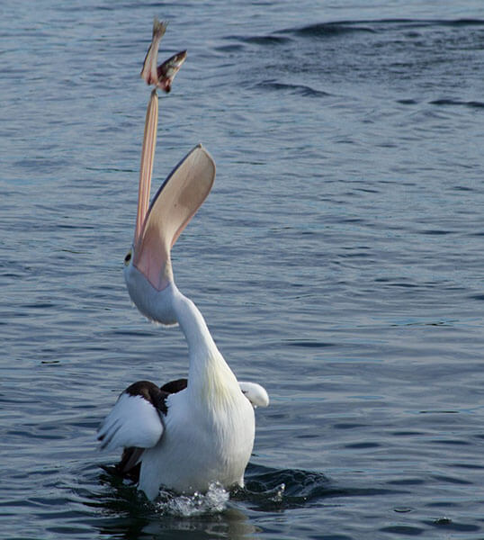 Great white pelican diet