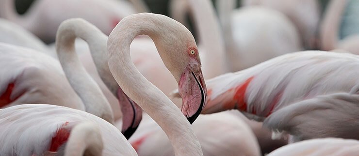 Greater Flamingo closeup