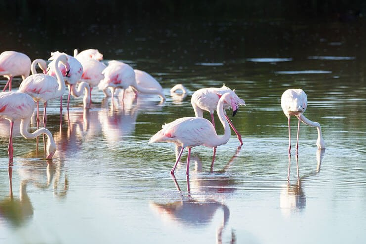 Greater Flamingo distribution