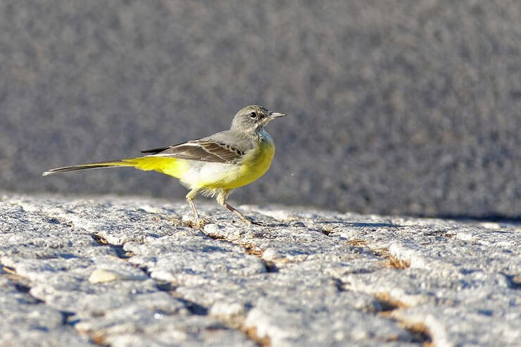 Grey wagtail aspects