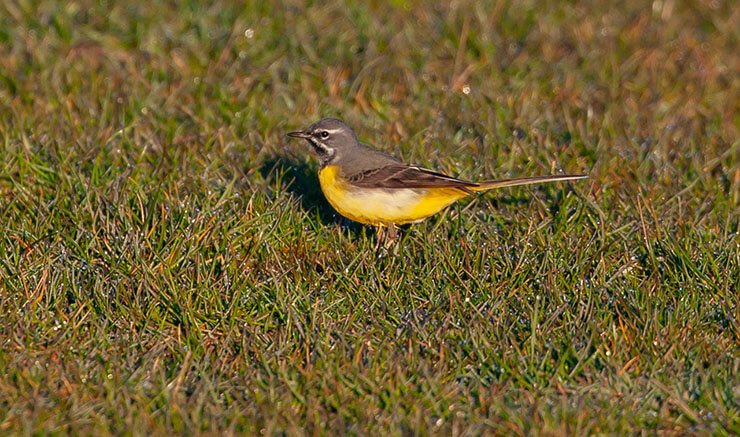 Grey wagtail foraging