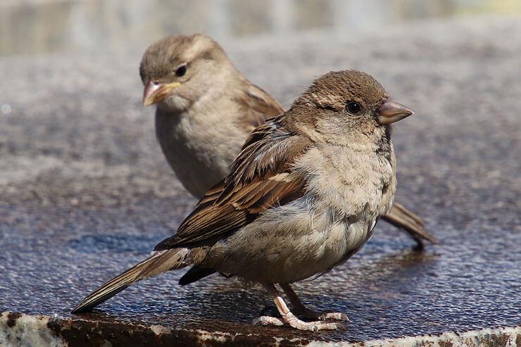 House sparrow distribution