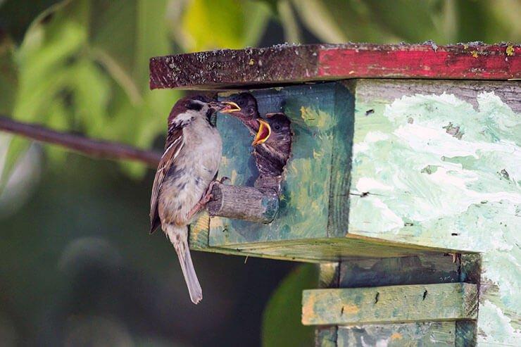 House sparrow nesting