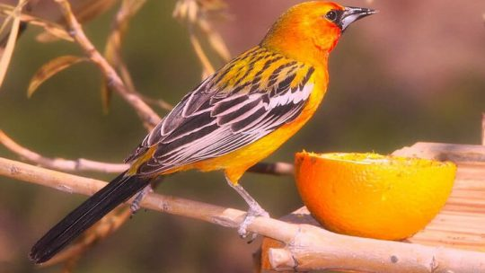 How to attract orioles in yard