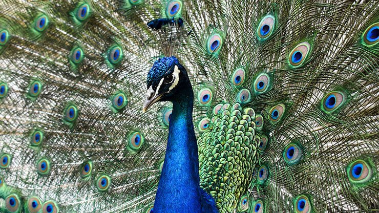 Indian peafowl aspects