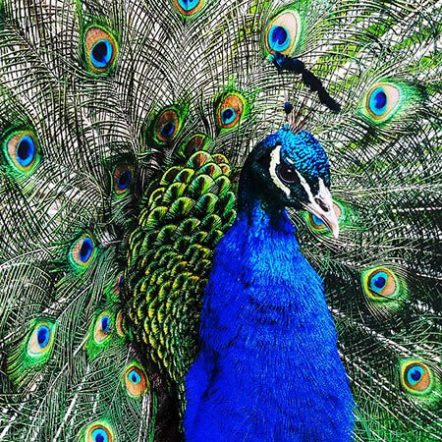 Indian peafowl closeup