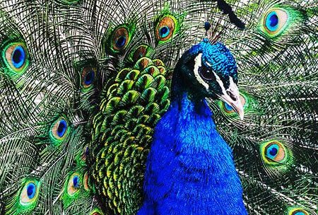 Indian peafowl closeup
