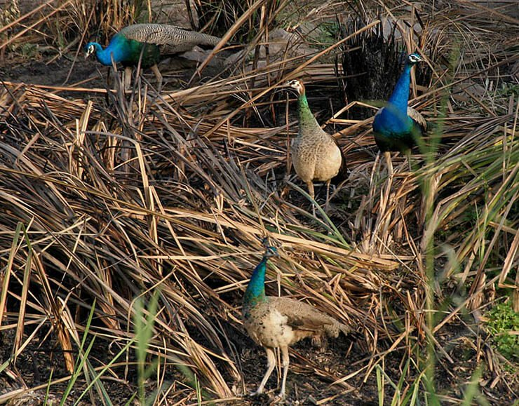 Indian peafowl distribution