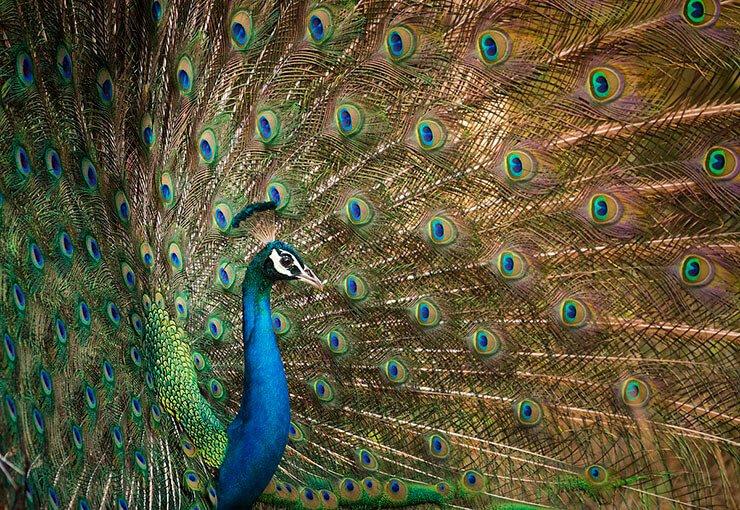 Indian peafowl plumage