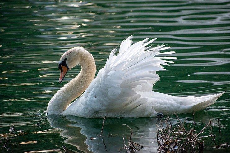 Mute swan aspects