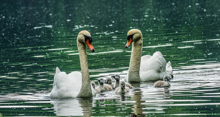 Mute swans with chicks