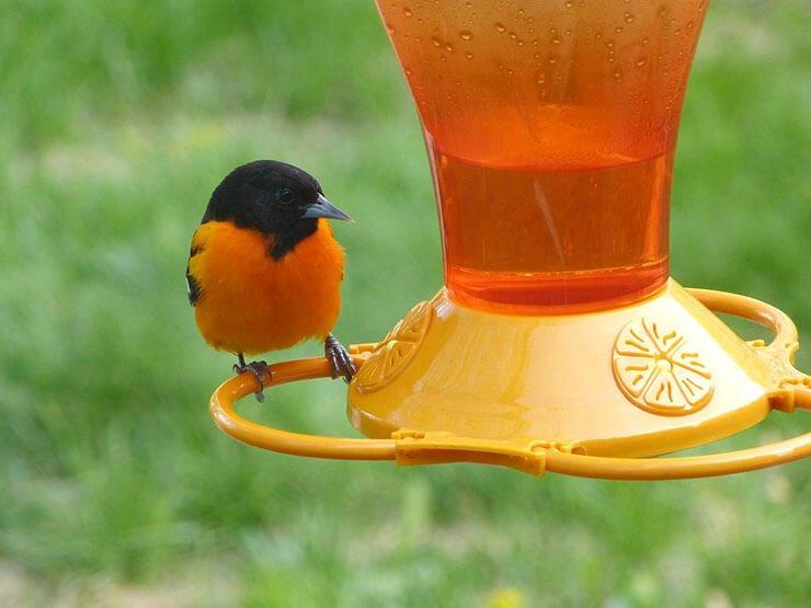 Oriole drinking nectar