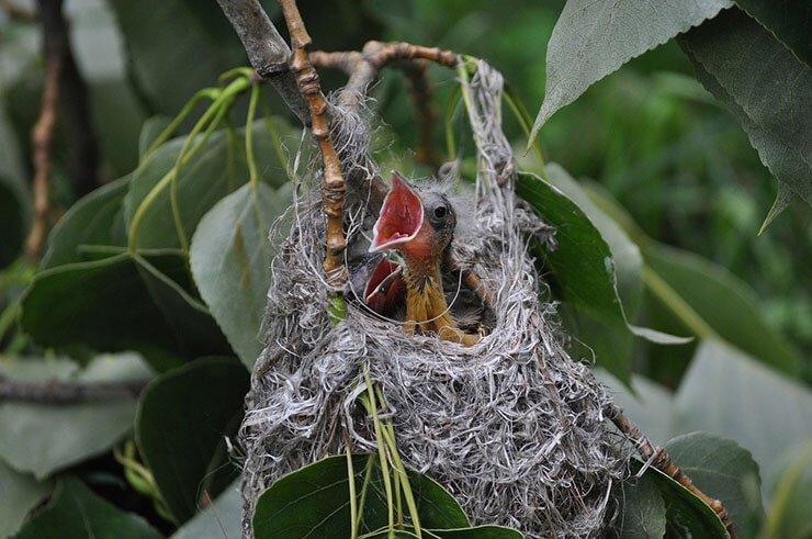 Orioles' nest