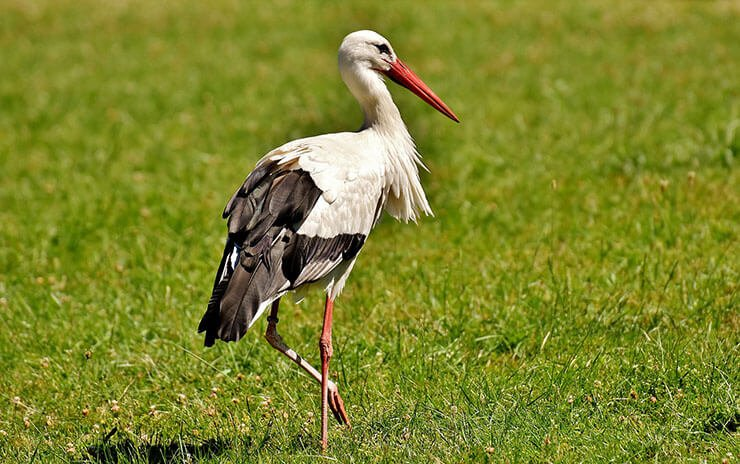 White stork aspects