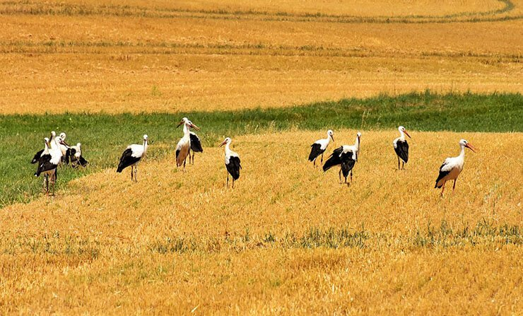 White stork distribution