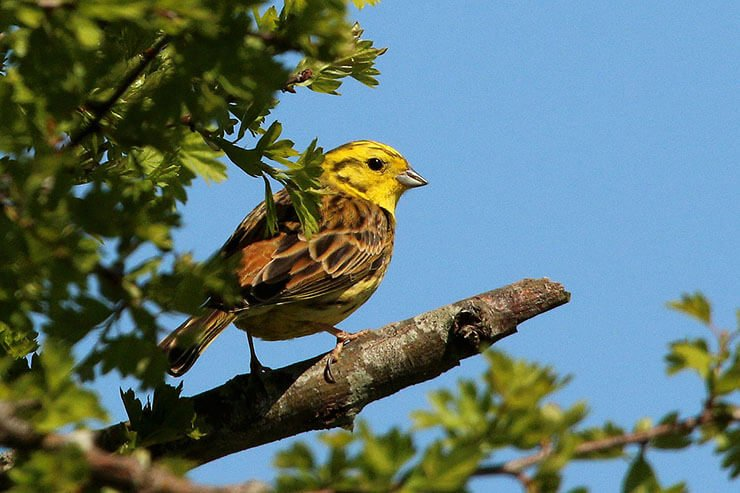 Yellowhammer aspects