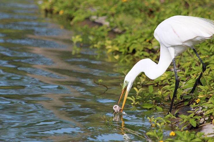 Great egret diet