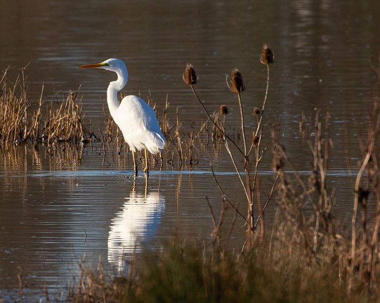 Great egret distribution