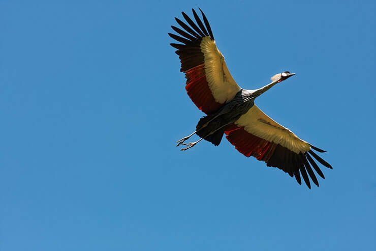 Grey crowned crane in flight