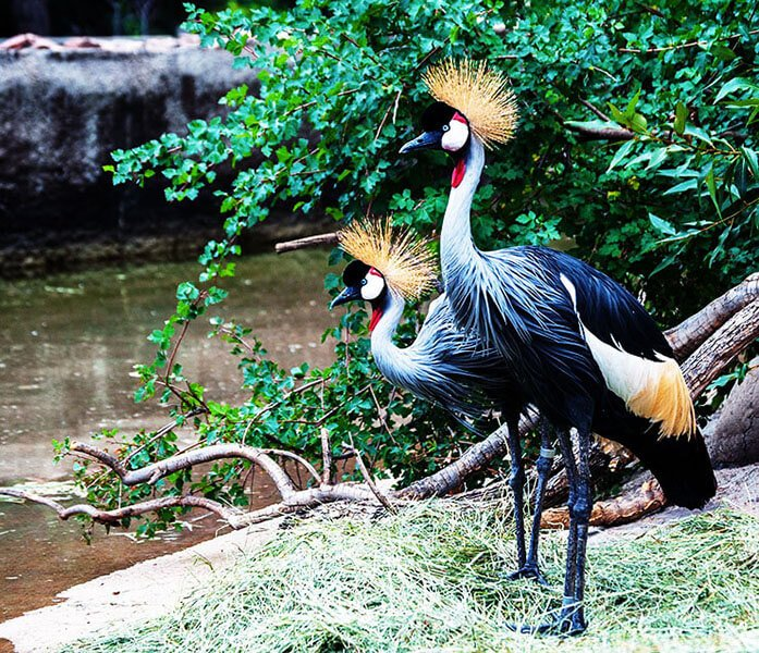 Grey crowned crane pair
