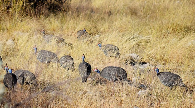 Helmeted guineafowl distribution