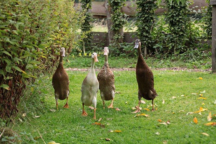 Indian Runner duck distribution