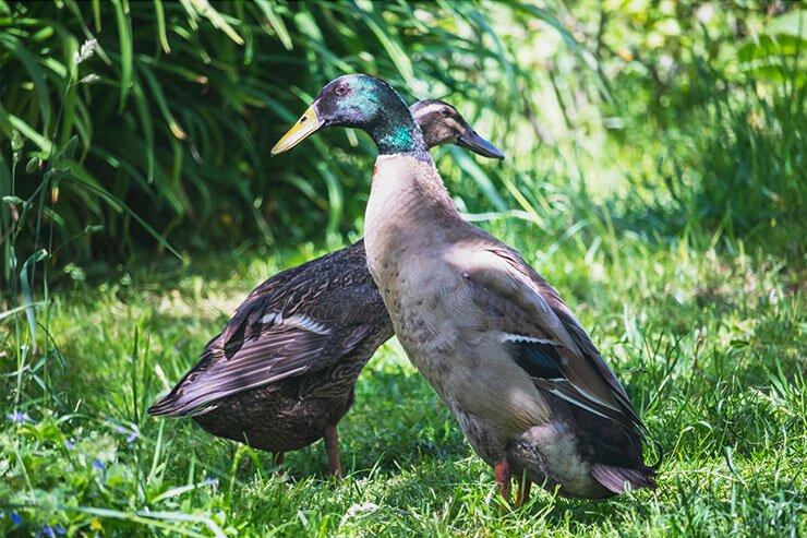Indian Runner duck pair