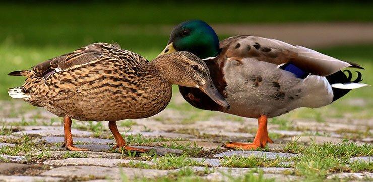 Mallard pair