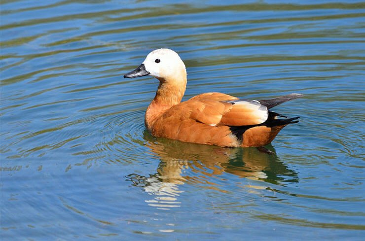 Ruddy shelduck aspects