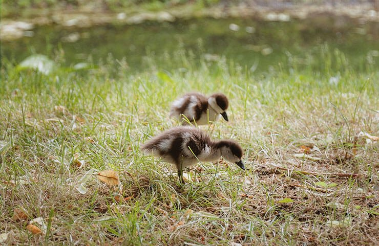 Ruddy shelduck chicks