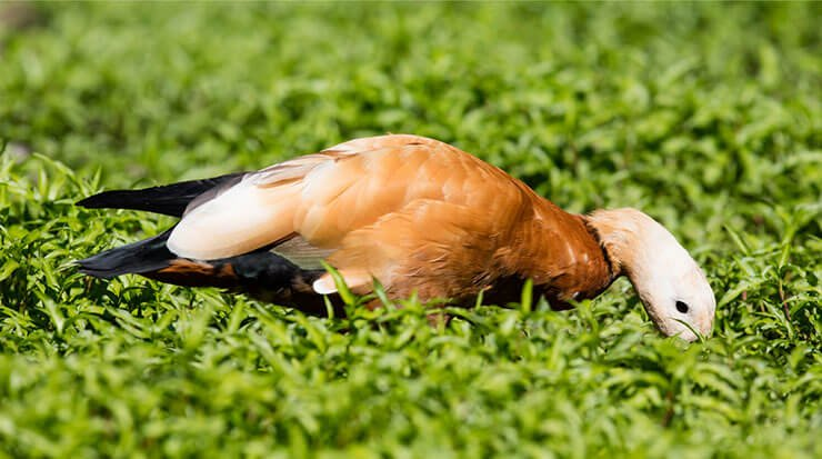 Ruddy shelduck diet