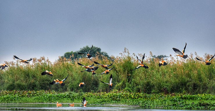 Ruddy shelduck migration