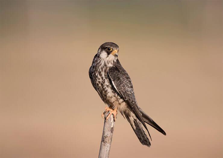 Amur falcon conservation