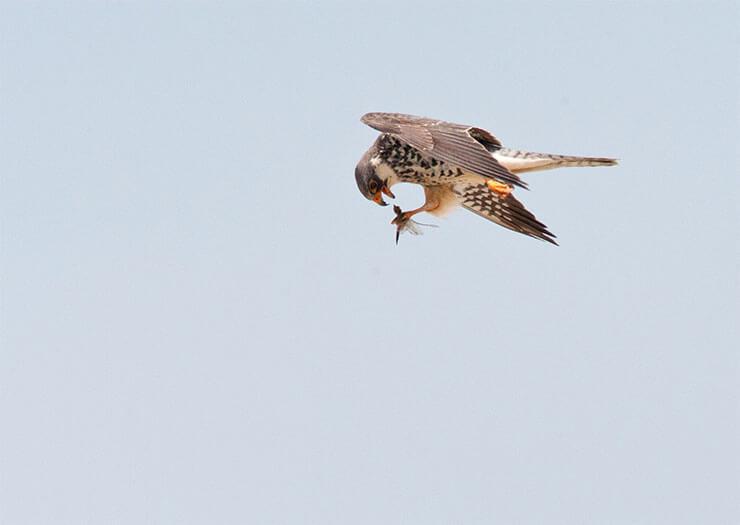 Amur falcon diet