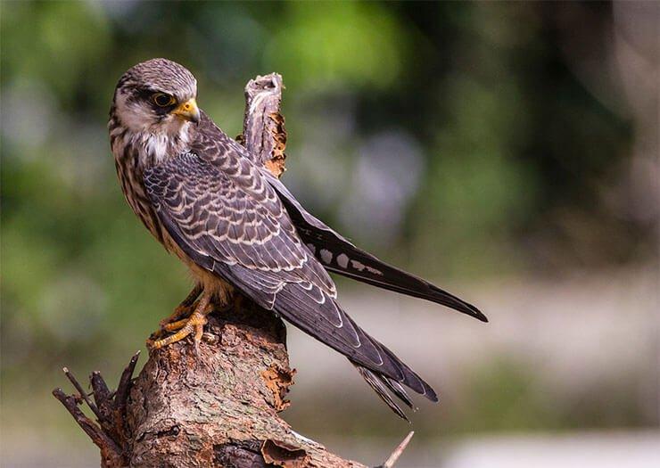 Amur falcon female