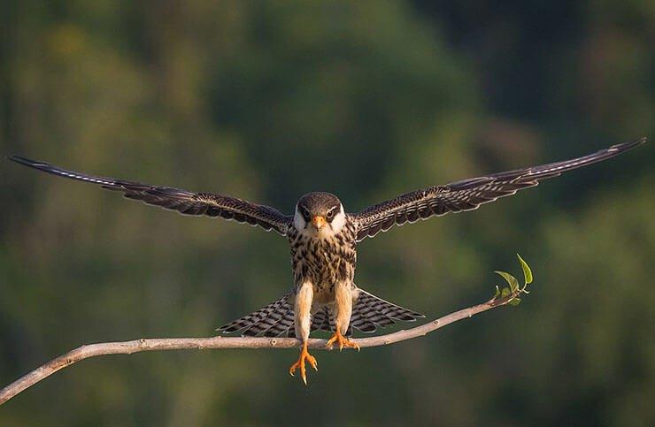 Amur falcon in flight