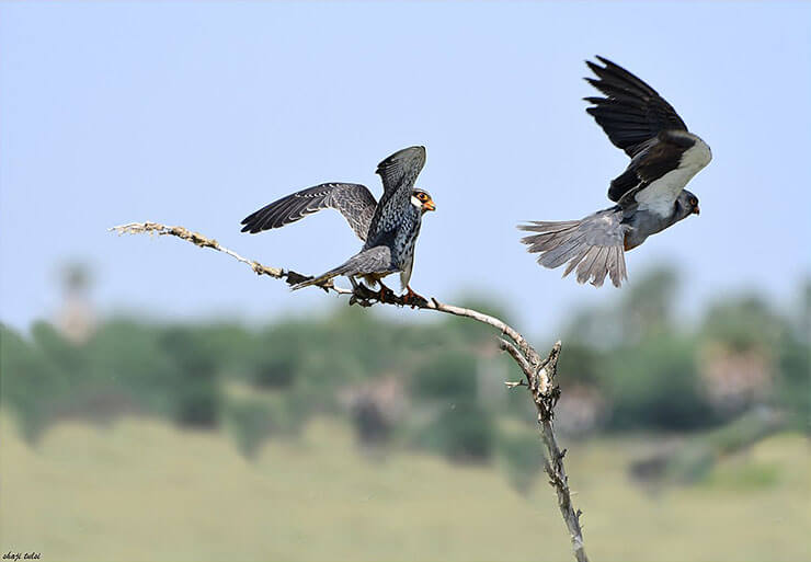 Amur falcon pair