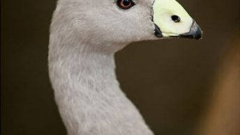 Cape Barren goose (Cereopsis novaehollandie)