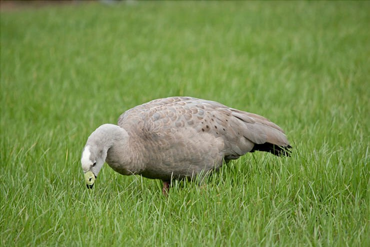 Cape Barren goose diet