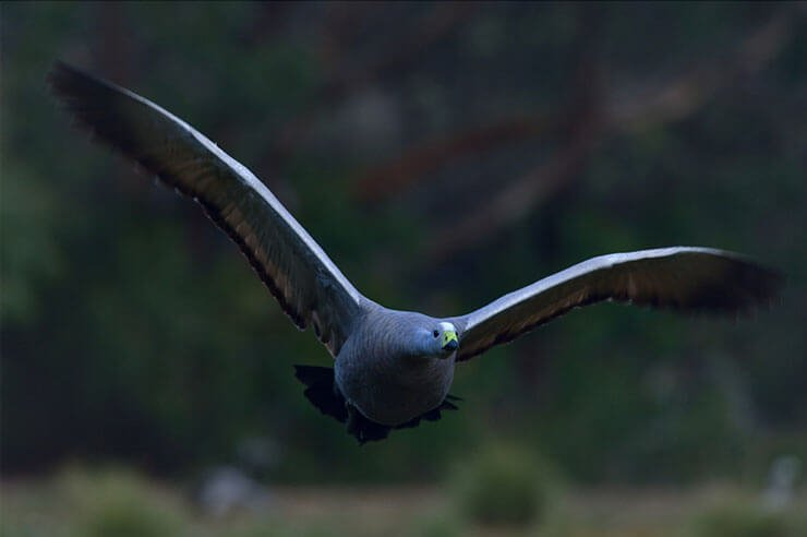 Cape Barren goose flight