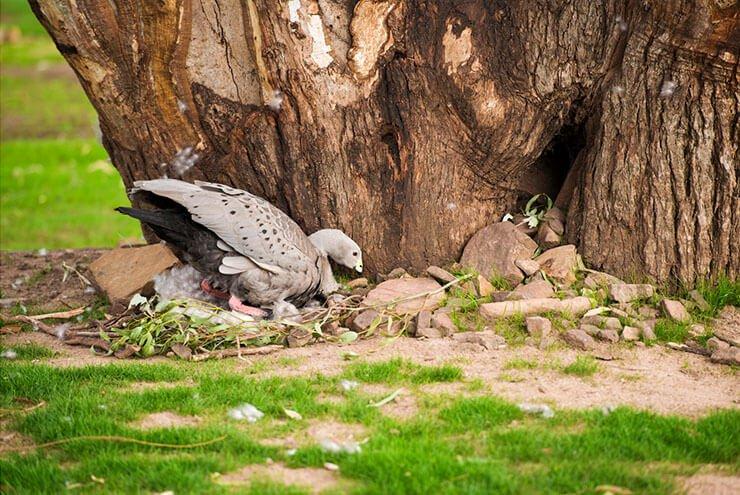 Cape Barren goose nesting