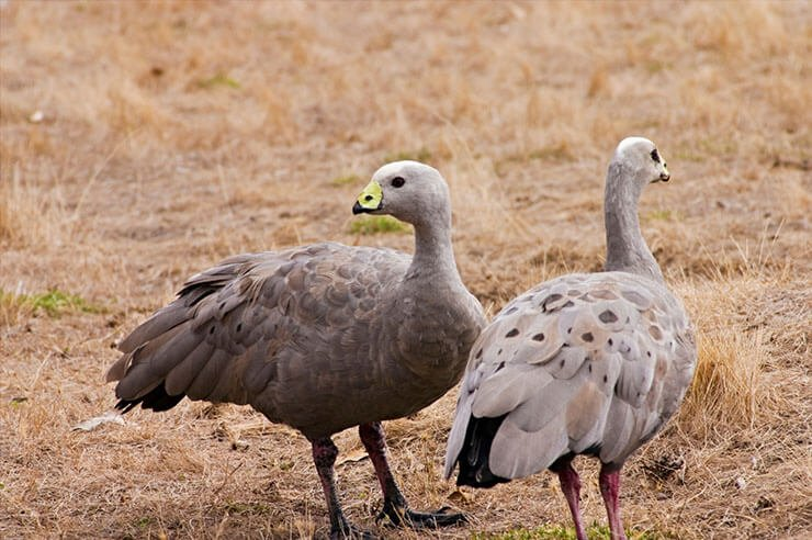 Cape Barren goose pair