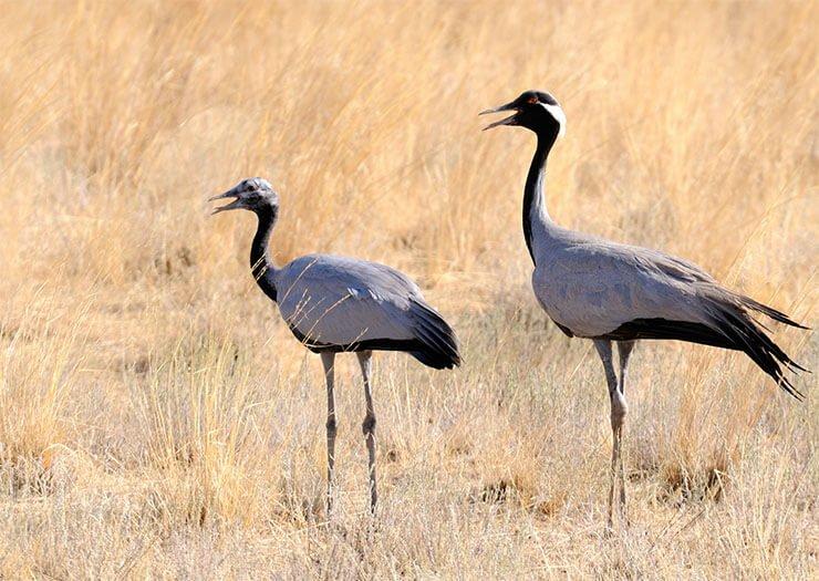 Demoiselle crane breeding