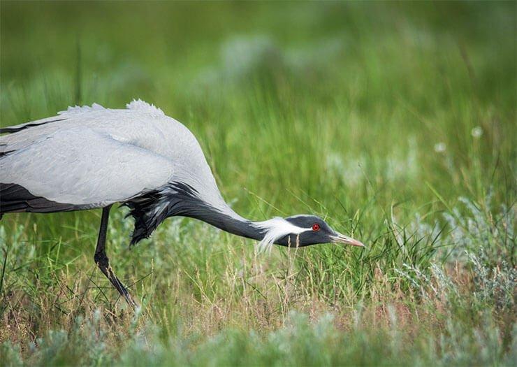 Demoiselle crane diet