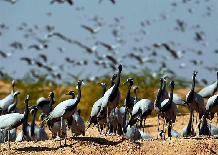 Demoiselle crane distribution