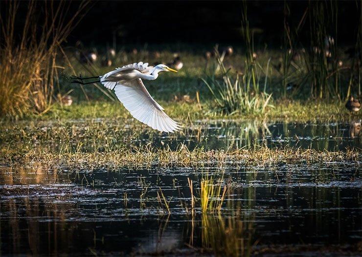 Little egret conservation