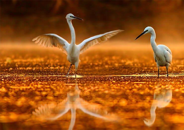 Little egret dance