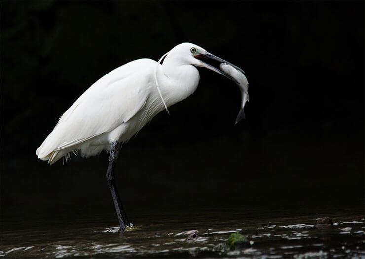 Little egret diet