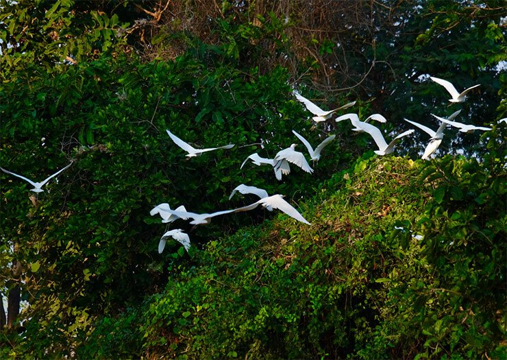 Little egret distribution