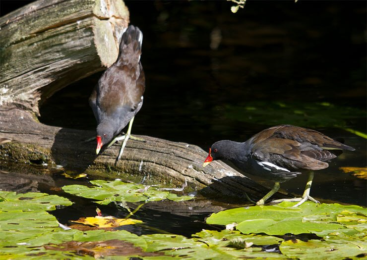 Moorhen distribution